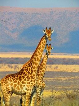 giraffes-382399__340